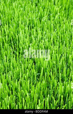 L'herbe de la pelouse avec des gouttelettes d'eau Banque D'Images