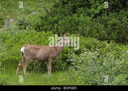 Le Cerf mulet Odocoileus hemionus debout dans quelques grands arbustes dans une forêt Banque D'Images
