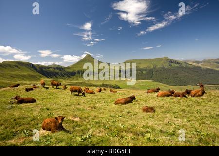 L'été de vaches de la race Salers sur les pâturages du Cantal (France). Vaches de race Salers à l'estive dans les Banque D'Images