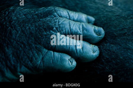 Détail d'un gorille de plaine de l'Ouest la main. Banque D'Images