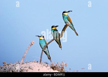 Trois des guêpiers Merops apiaster, perché sur une branche Israël au printemps