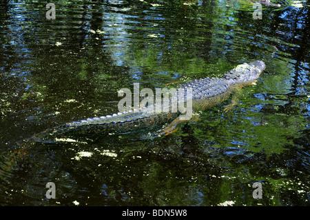 Un alligator dans un bayou swamp près de La Nouvelle-Orléans, Louisiane Banque D'Images