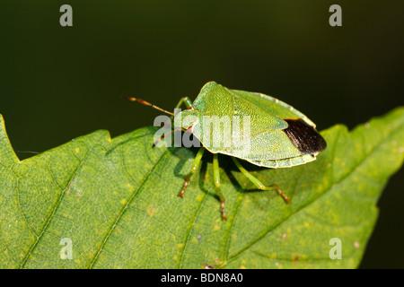 Green Shield bug (Palomena prasina), imago Banque D'Images
