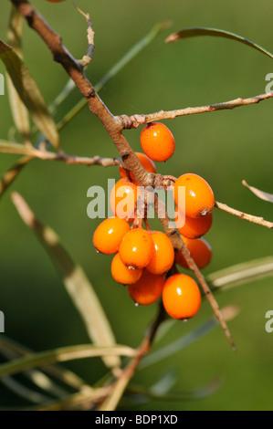L'argousier (Hippophae rhamnoides)