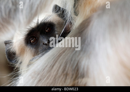 Hanuman-Langur langur Hanuman langur commun, animaux singe Semnopithèque Banque D'Images