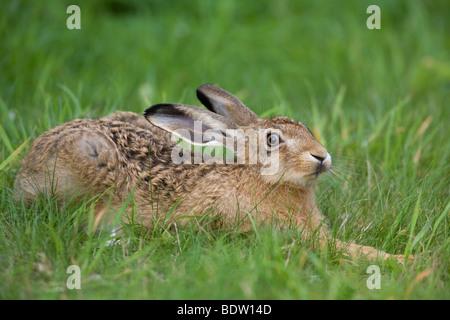 Lièvre brun - (lièvre européen - leveret / Lepus europaeus) Banque D'Images