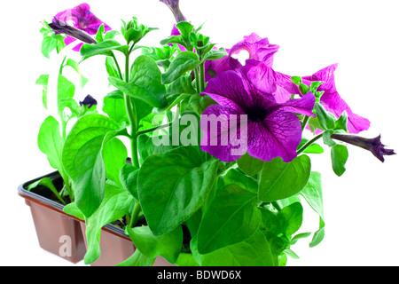 Pétunia violet lumineux dans des pots en plastique sur un fond blanc Banque D'Images