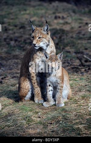 Le Lynx eurasien (Lynx lynx), la mère avec cub Banque D'Images