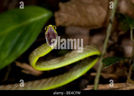Lora serpent, perroquet vert serpent (Leptophis ahaetulla) en position défensive, Tenorio Volcano National Park, Costa Rica.