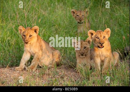 Des lionceaux (Panthero leo), Kruger National Park, Afrique du Sud