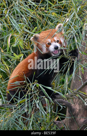 Panda rouge menaçante (Ailurus fulgens), portrait Banque D'Images