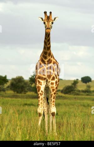 Girafe (Giraffa camelopardalis) dans le Parc National de Kidepo Valley dans le nord de l'Ouganda. Banque D'Images