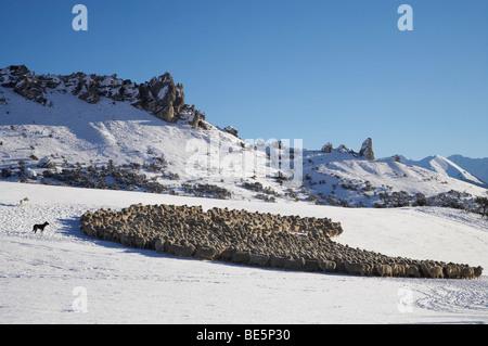 Le rassemblement des moutons dans la neige, la colline du Château, Arthur's Pass Road, Canterbury, île du Sud, Nouvelle Banque D'Images