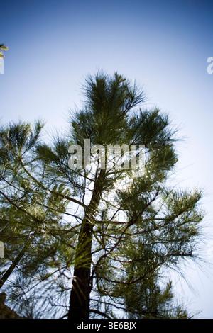 arbre de pin Banque D'Images
