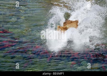 L'OURS BRUN (GRIZZLI), Ursus arctos horribilis, se précipitant pour le saumon, Katmai National Park et préserver Banque D'Images