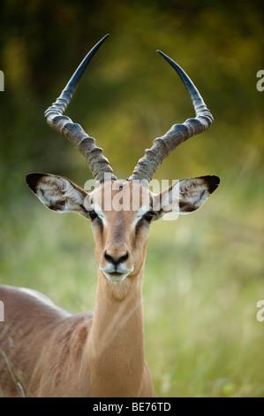 Impala (Aepyceros melampus), Kruger National Park, Afrique du Sud