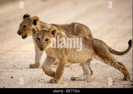 Lion cub (Panthero leo), Kruger National Park, Afrique du Sud