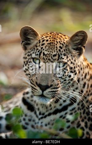 Leopard (Panthera pardus), Sabi Sands, parc national Kruger, Afrique du Sud Banque D'Images