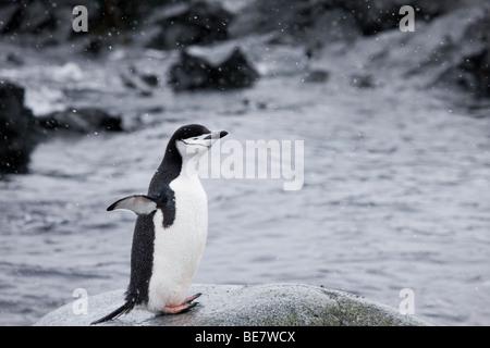 Heureux pour la jugulaire Penguin stretching debout sur les ailes dans l'eau de roche distribués les yeux fermés profitant de neige par temps froid de l'Antarctique, l'espace négatif