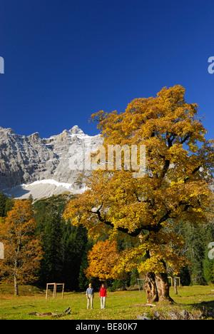 Randonnée entre deux arbres d'érable en couleurs d'automne avec vue sur Birkkarspitze, Kleiner Ahornboden, Karwendel, Banque D'Images