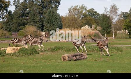 Les zèbres de Chapman (Equus quagga chapmani)