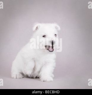 En colère contre West Highland White Terrier puppy portrait Banque D'Images