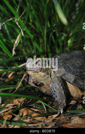 Gopher, Tortue Gopherus polyphemus, Floride, captive Banque D'Images