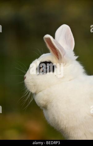 Portrait de lapin nain blanc