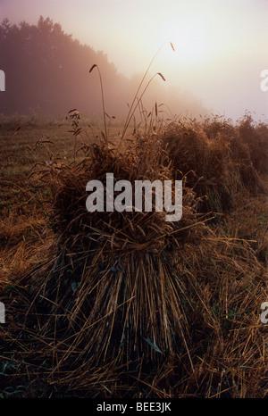 Bundle of Hay , Pologne pays ferme biologique brouillard brouillard Banque D'Images