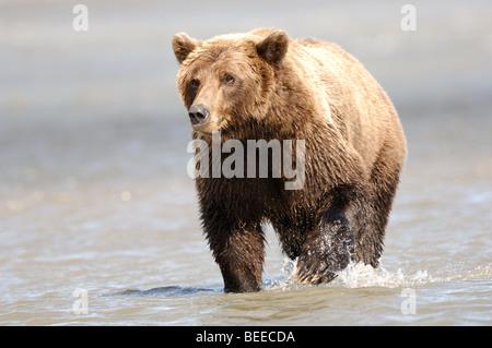 Stock photo d'un ours brun d'Alaska debout dans l'eau d'un orifice d'admission. Banque D'Images