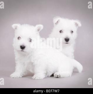 Deux West Highland White Terrier chiots sur le portrait portrait gris Banque D'Images