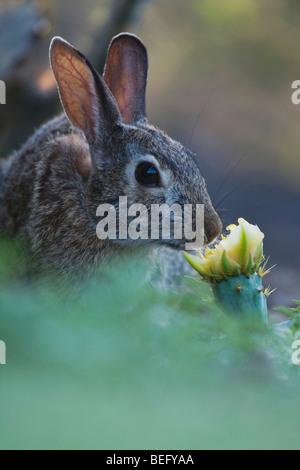 Lapin (Sylvilagus floridanus), l'adulte qui les Texas Cactus blossom, Rio Grande Valley, Texas, États-Unis