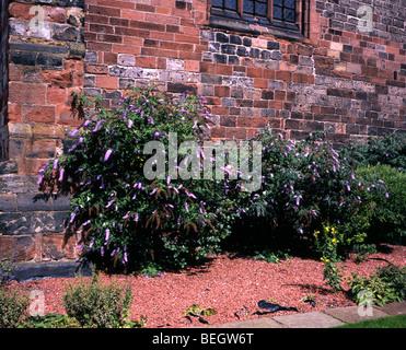 Buddleia dans l'enceinte de la cathédrale de Carlisle Cumbria England