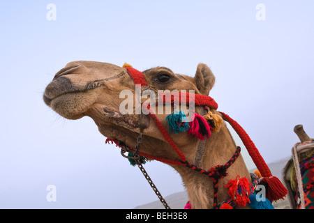Dromadaire chameau d'Arabie, Camelus dromedarius, Le Caire, Egypte Banque D'Images