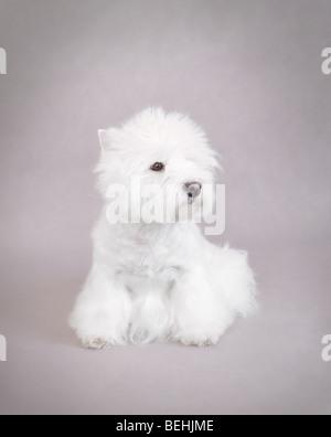 West Highland White Terrier portrait sur fond gris Banque D'Images