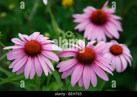 Fleurs pourpre Echinacea purpurea wildflowers personne n'a pas personnes isolées de au-dessus du toit en USA Banque D'Images