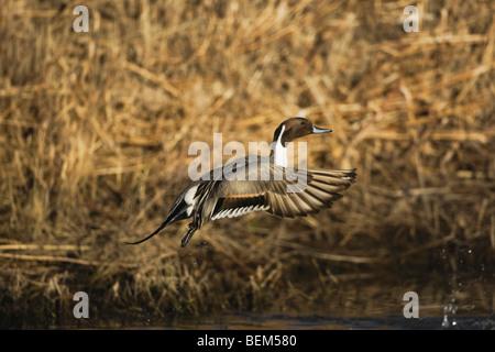 Le Canard pilet (Anas acuta), homme, décoller, Bosque del Apache National Wildlife Refuge , New Mexico, USA, Banque D'Images