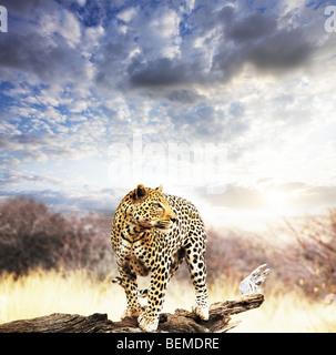léopard Banque D'Images