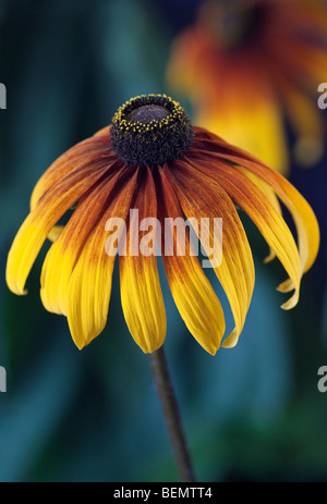 Rudbeckia [Gloriosa Daisy] Banque D'Images