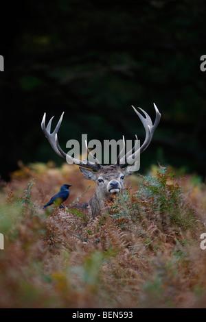 Red Deer Cervus elaphus cerf dans bracken choucas Banque D'Images