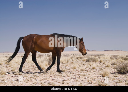 Près de Garub chevaux sauvages du Namib Nautkluft waterhole, Parc National, la Namibie, l'Afrique. Banque D'Images