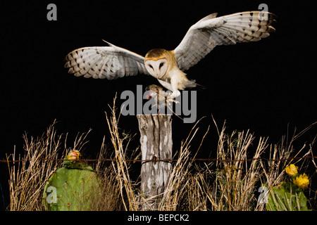 Effraie des clochers (Tyto alba), des profils à l'atterrissage sur piquet avec souris proie, Rio Grande Valley, Banque D'Images