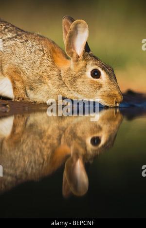 Lapin (Sylvilagus floridanus), des profils de boire, Rio Grande Valley, Texas, États-Unis