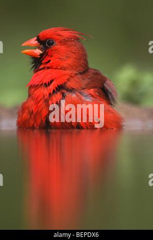 Cardinal rouge (Cardinalis cardinalis),mâle echelle, Rio Grande Valley, Texas, États-Unis Banque D'Images