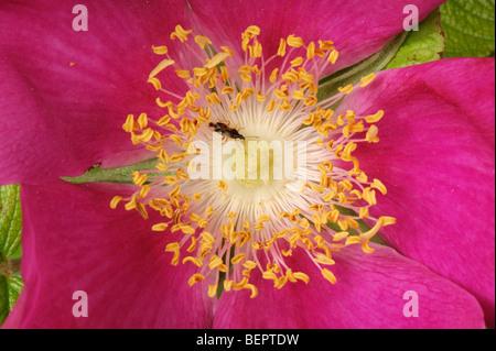 Une fleur d'éviction (Anthoris bug sp.) à l'intérieur les étamines d'une fleur Rosa rugosa Banque D'Images