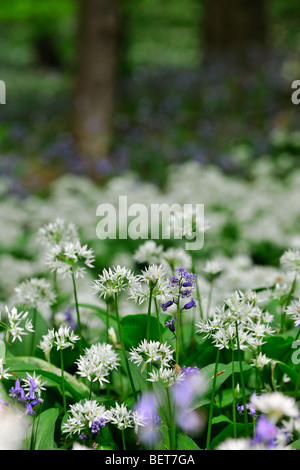 Ramsons / ail sauvage (Allium ursinum) et de jacinthes au printemps floraison le long de brook avec arbres forestiers Banque D'Images