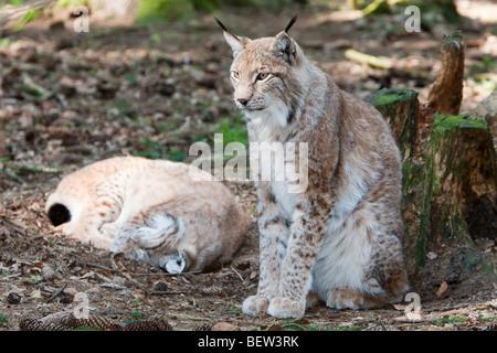 Le Lynx d'Eurasie, Lynx lynx, forêt de Bavière, Allemagne Banque D'Images