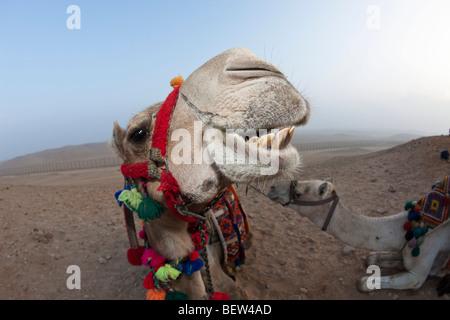 Chameau d'Arabie, le dromadaire, Camelus dromedarius, Le Caire, Egypte Banque D'Images
