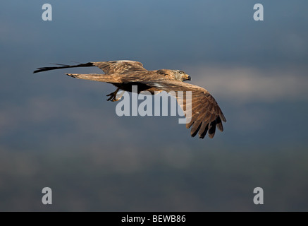 Milan noir (Milvus migrans) en vol à voile, avec copie espace