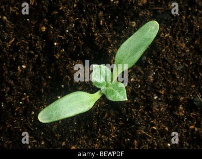 Lampourde épineuse (Xanthium spinosum) cotylédons des plantules avec deux premières vraies feuilles à développer Banque D'Images
